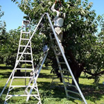 Ladders standing in an orchard